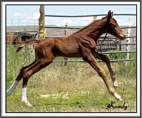 Chestnut Thoroughbred Stallion
